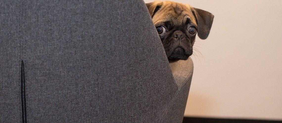 dog, pug, face